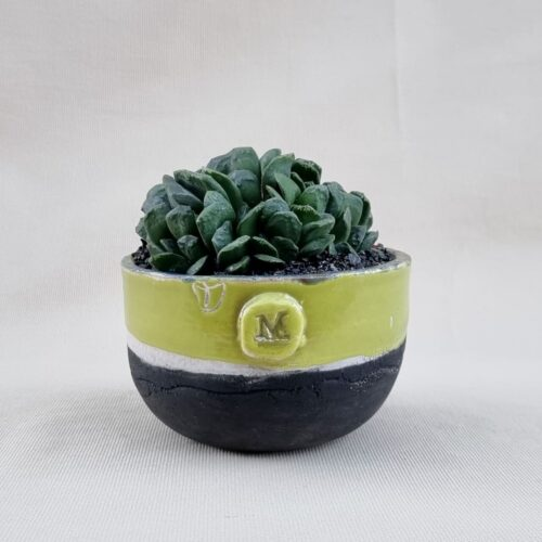 Haworthia maughanii x truncata Ø 12 | ManeRaku CactusMania