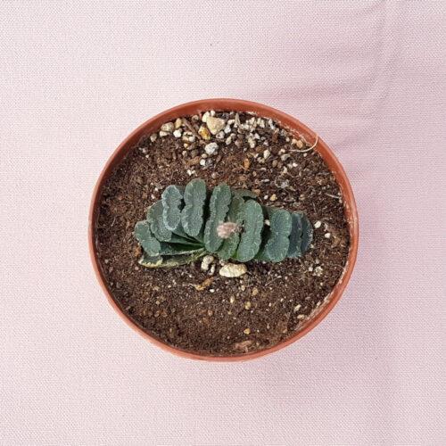 Haworthia truncata vaso Ø 10,5