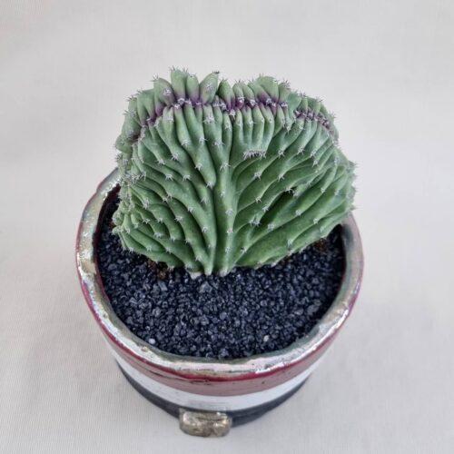 Lophocereus schottii crestato | Linea ManeRaku CactusMania