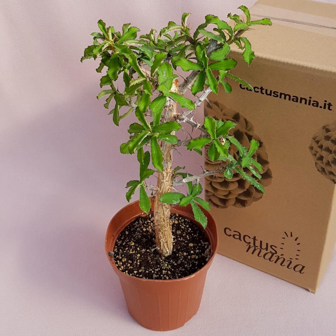 Monadenium elegans vaso Ø 14