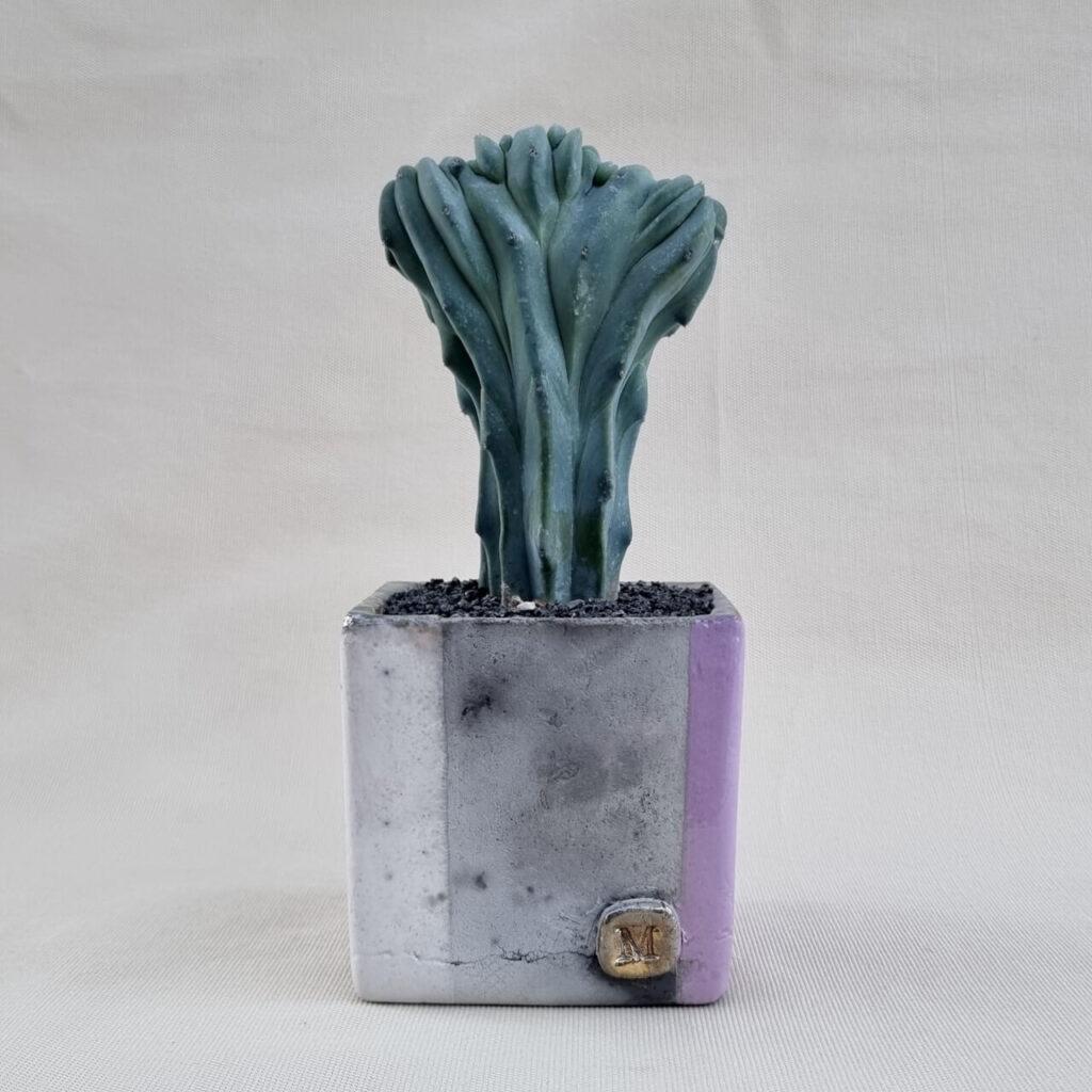 Myrtillocactus geometrizans crestato vaso 10x10   ManeRaku