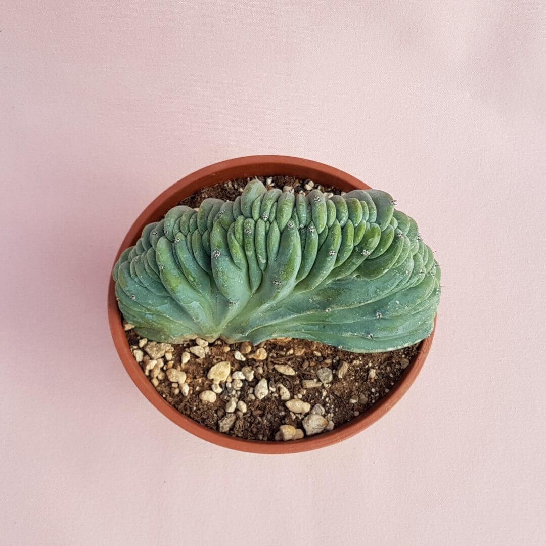 Myrtillocactus geometrizans crestato vaso Ø16