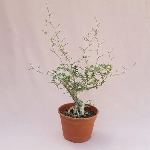 Operculicarya decaryi vaso Ø 16   Rarità CactusMania
