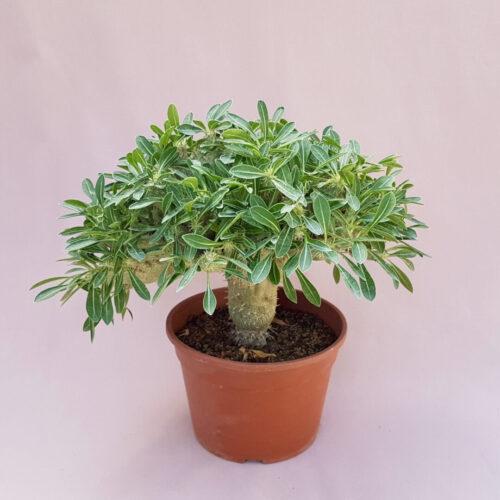 Pachypodium horombense crestato vaso Ø18