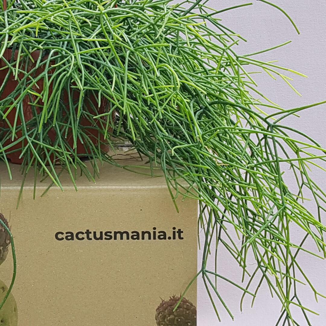 Rhipsalis baccifera vaso basket Ø 15