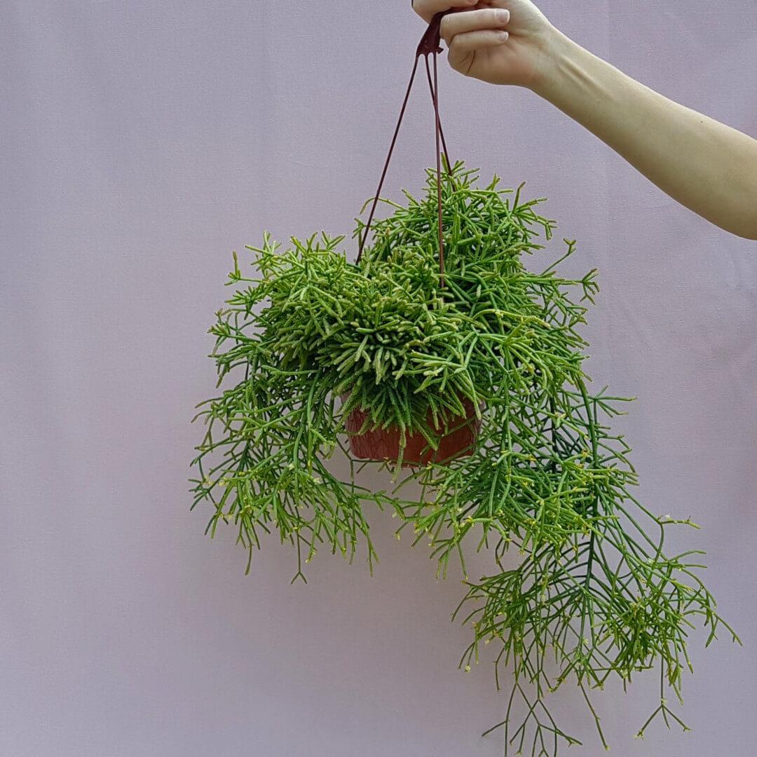 Rhipsalis baccifera cassutha vaso basket Ø 15