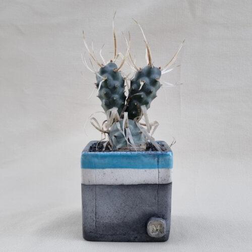 Tephrocactus articulatus papyracantha 10x10