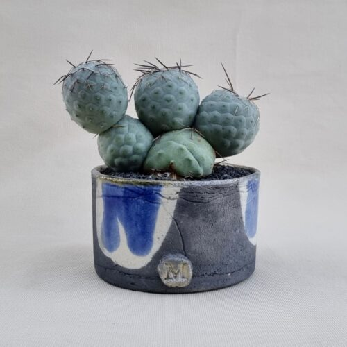 Tephrocactus geometricus 5 palle innesto vaso Ø14