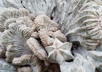 Astrophytum cv onzuka f. crestata