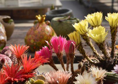 Fiori di Echinopsis