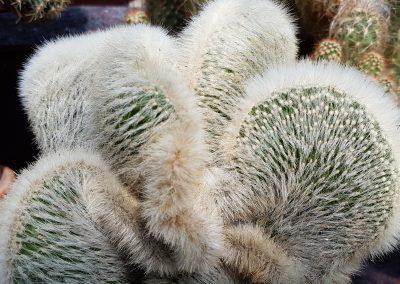Cleistocactus strausii f. crestata
