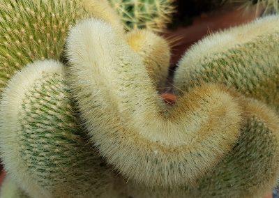 Cleistocactus winterii f. crestata