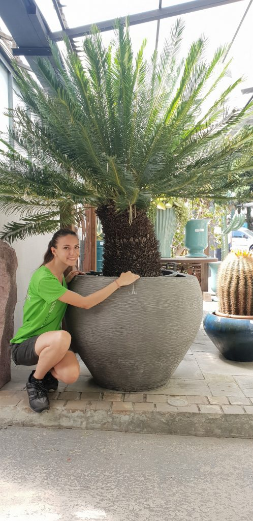 Cycas panzhihuaensis esemplare