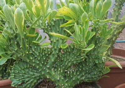 Euphorbia nerifolia crestata variegata