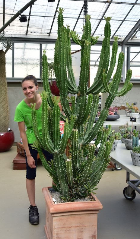 Euphorbia royleana esemplare