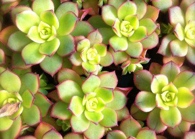 Aeonium kiwiniano