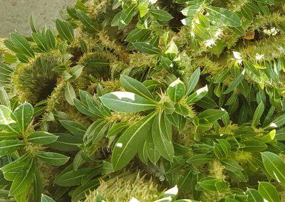 Pachypodium horombense crestato