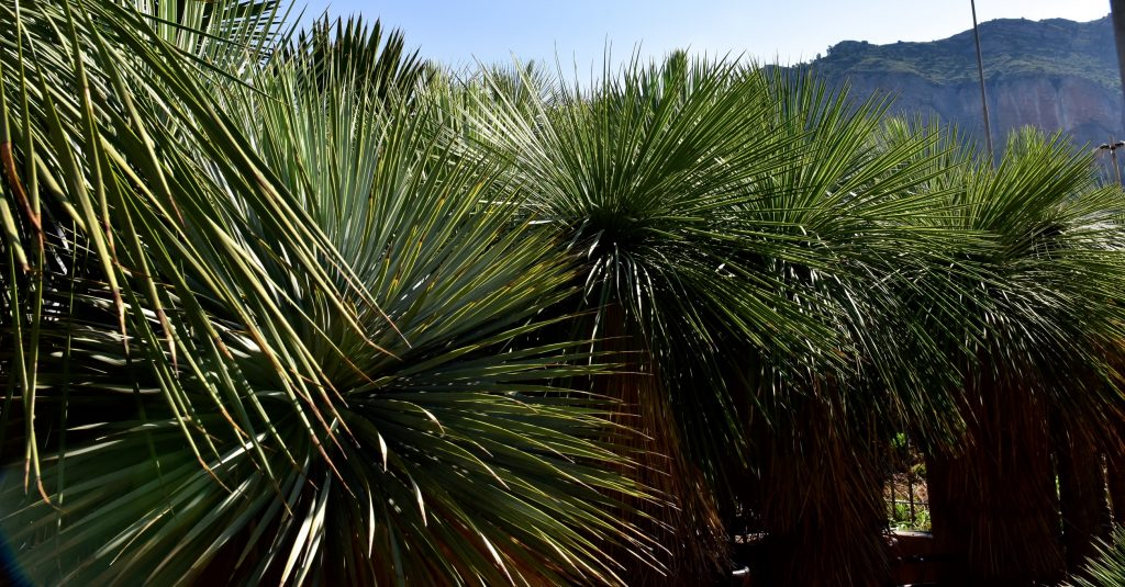 Yucca rostrata_ge_2