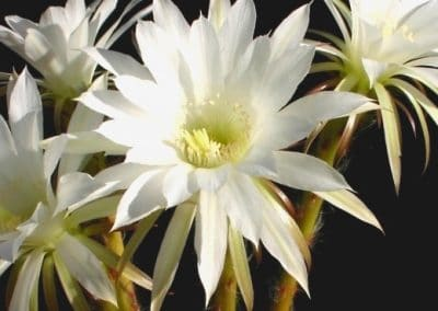 Profumo di Echinopsis