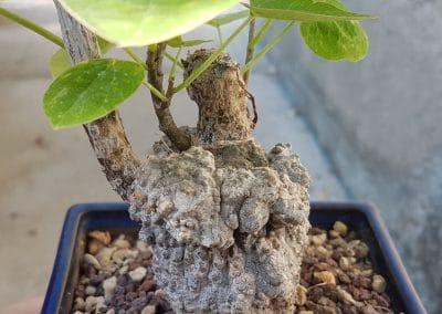 Adenia epigea