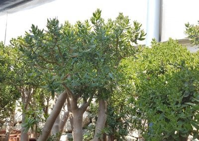 Crassula sarcocaulis