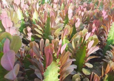 Euphorbia hermethiana rubra