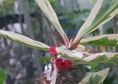 Euphorbia mili variegata