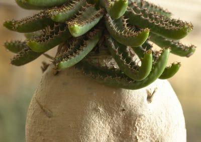 Euphorbia stellata caudiciforme