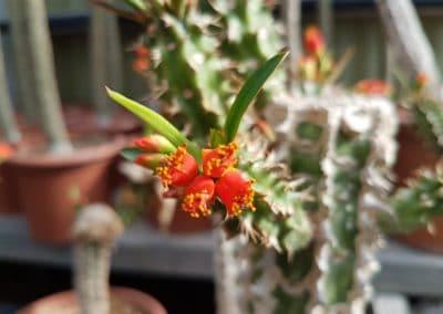Euphorbia vigueri