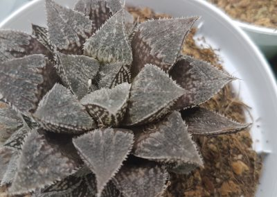 Haworthia emelyae major x esterhuizenii