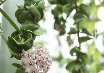 Hoya carnosa 'compacta' - Collezione hoya