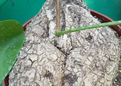 Stephania suberosa