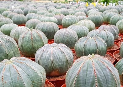 Best of Euphorbia obesa
