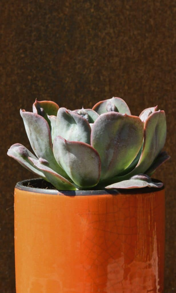Echeveria_Orange_Manera_web