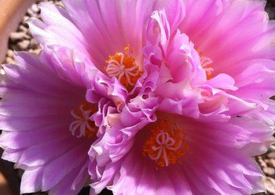 84_Cactusmania_Gymnocalycium