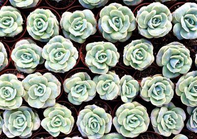 Echeveria Lovely Rose