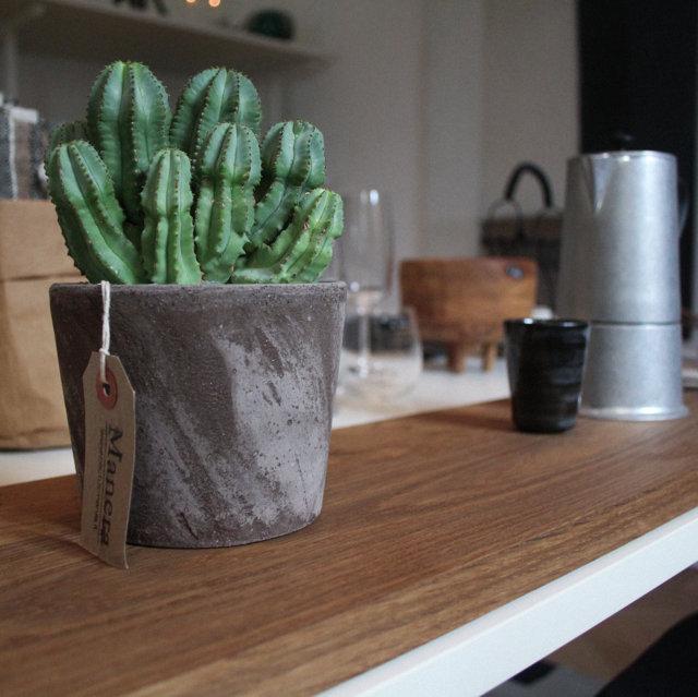 MANERA Euphorbia fruticosa inermis