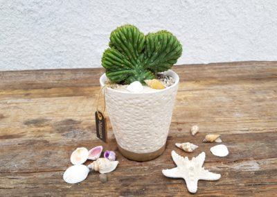 Trichocereus pachanoi crestato Linea Manera in vaso ceramica bianco